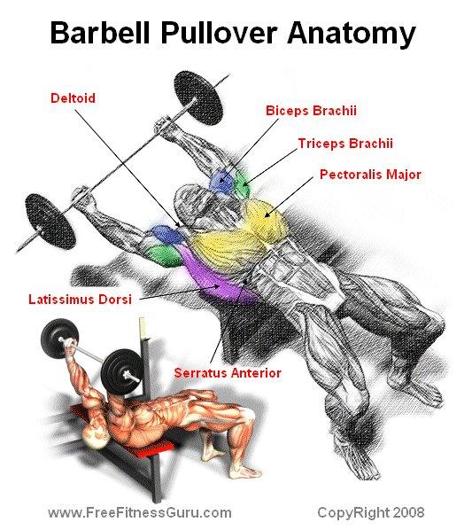 FreeFitnessGuru - Barbell Pullover Anatomy