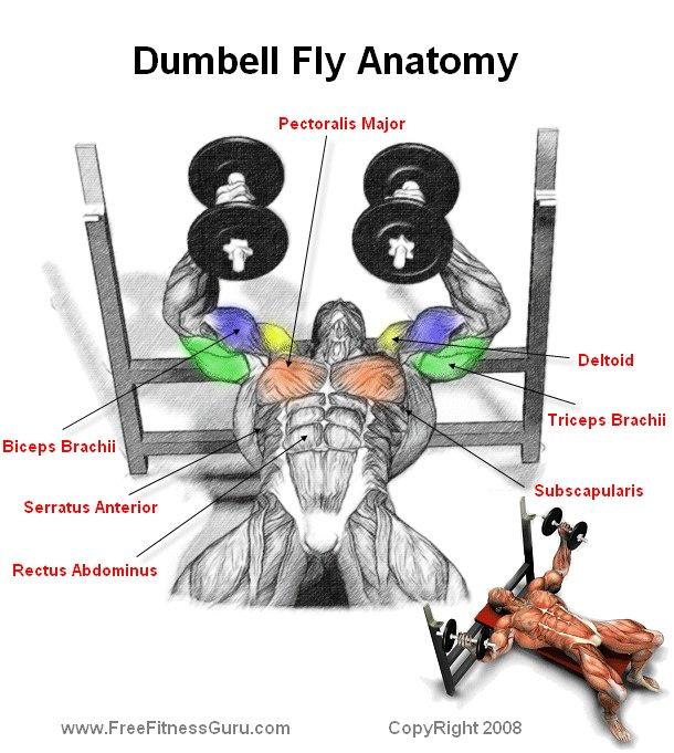 FreeFitnessGuru - Dumbell Fly Anatomy