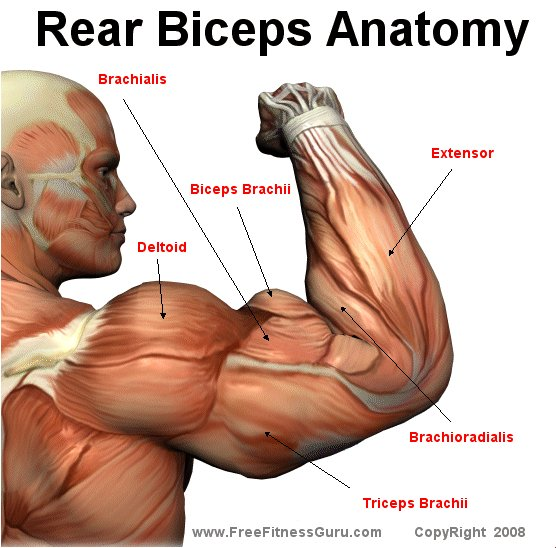 bicep muscles - photo #49
