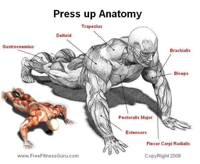 FreeFitnessGuru - Press up Anatomy