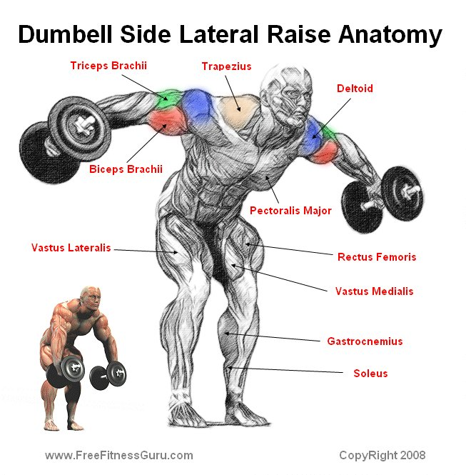 Body building anatomy gt shoulder exercises gt dumbell side lateral raise