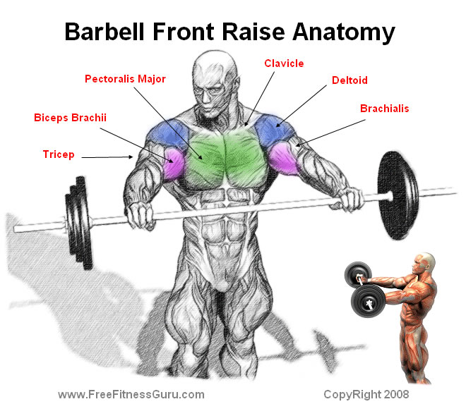 barbell front raise anatomy