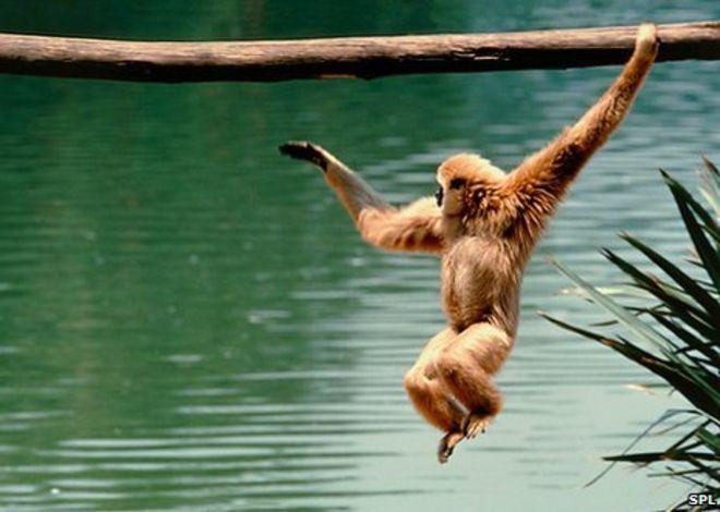 brachiating gibbon